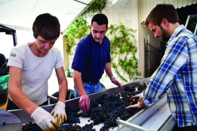 柏图斯酿酒师 Olivier Berrouet监督葡萄的筛选工作