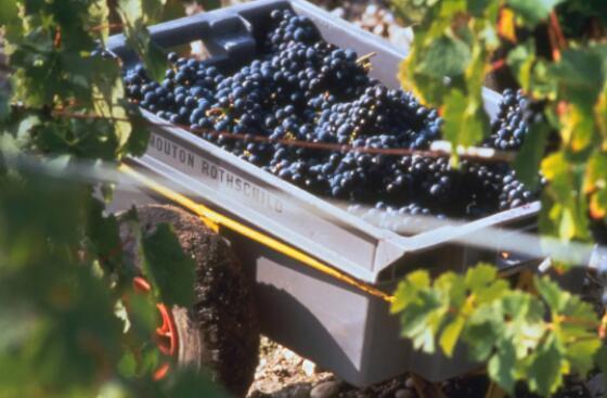 波尔多混酿葡萄