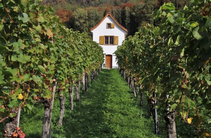 Volnay的葡萄园